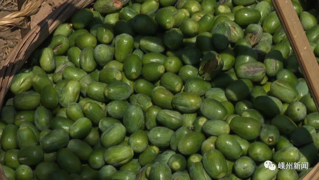 今年最早一批香榧青果开摘!预计产量1500万公斤以上!